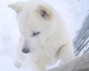 北海道の犬。